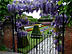 ENG09VJB374 Purple wisteria hangs above iron gate, entrance to sunken garden. Privy Gardens, Hampton Court Palace, Surrey, UK. Copyright Tropix (V. and M. Birley)