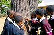 SAF96AM7_08 Ecology lesson. Teenage students studying insects living in tree bark; secondary school; science. KwaZulu, South Africa. Copyright Tropix (A. Mountain)