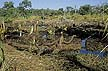 SAF_AM39_01 Swamp forest drained for banana plants, cash crop; furrows. Ecological destruction. Maputaland, KwaZulu, South Africa. Copyright Tropix (A. Mountain)