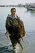 SKO85IS3_07 Old man, happy face, with armload of seaweed he has collected, wades to shore. Marine algae. Pangojin, South Korea. Copyright Tropix (I. Sheldrick)