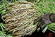 TNZ93DC41_15 Close-up green & golden sheaf of harvested rice held in girls hand. Kilombero Dist., Morogoro Region, S.Tanzania. Copyright Tropix (D. Charlwood)