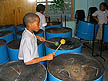 TRN07RB393 Boy pupils aged 10 / 11?, playing in steel drum band; music class; concentrating. Arima Boys RC Primary School, Trinidad Copyright Tropix (Roland Birley)